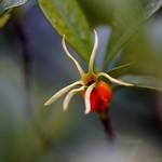 くちなし (梔) /Gardenia jasminoides