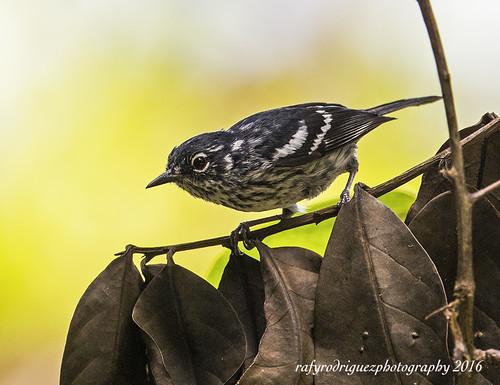 Elfins-wood Warbler-Reinita del Bosque Enano-Setophaga angelae