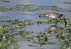 Lesser Jacana- Skukuza, South Africa by wsweet321