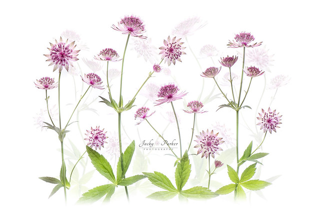 Astrantias major flowers
