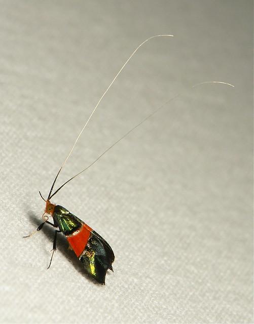 Red-banded Fairy Longhorn Moth (Nemophora rubrofascia, Adelidae)