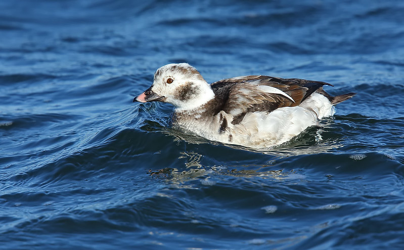 Long-tailed Duck [female]