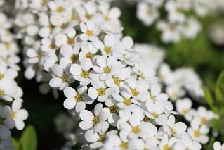 Thunberg's meadowsweet / Spiraea thunbergii / 雪柳(ユキヤナギ) | by TANAKA Juuyoh (田中十洋)