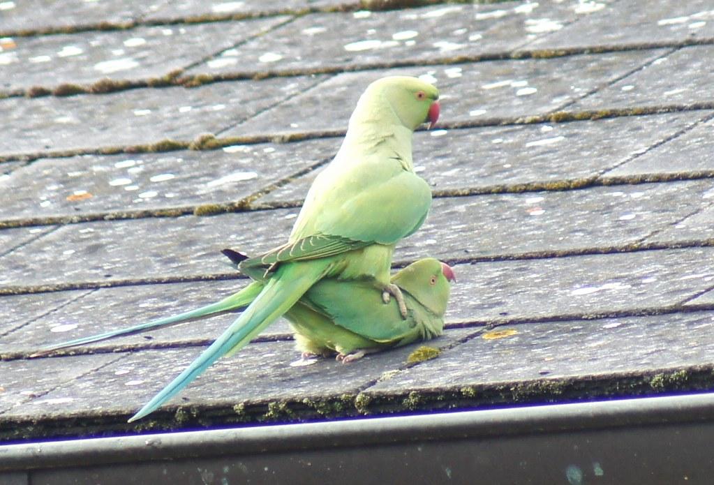 50 Shades of Green | Parakeet porn at the London Wetland
