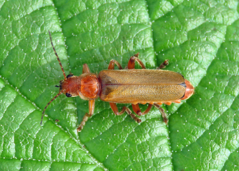 Cantharis cf. cryptica
