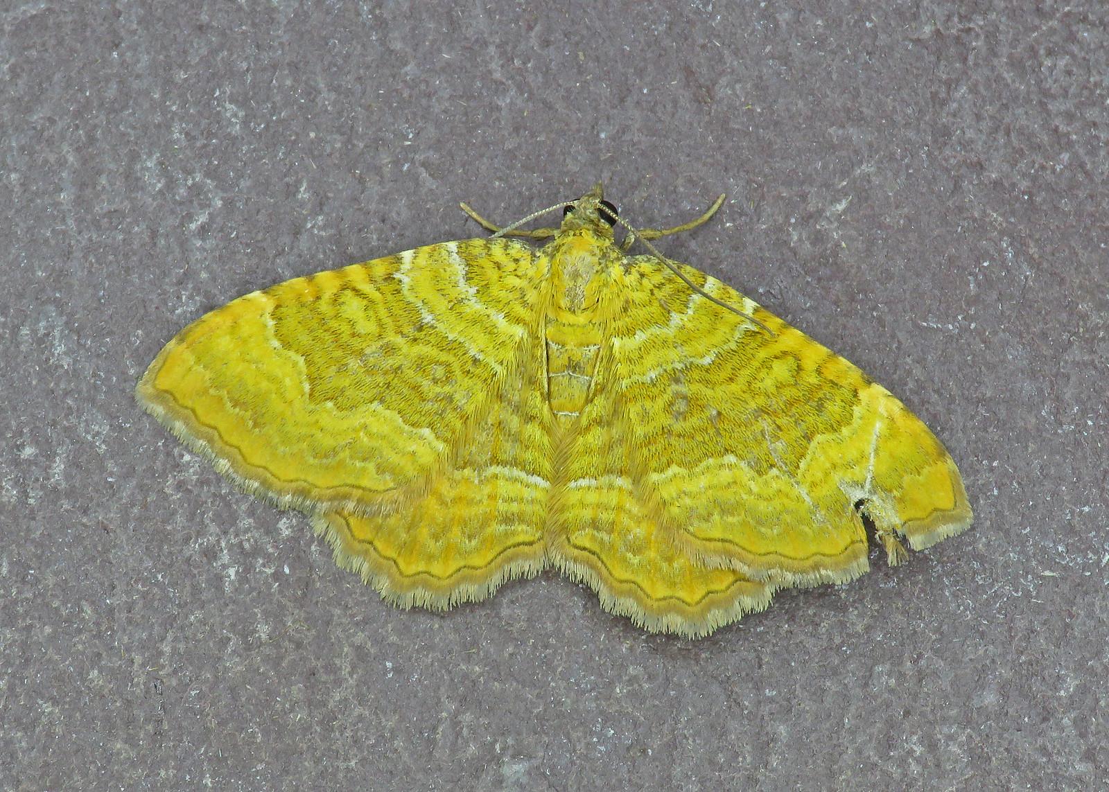 70.059 Yellow Shell - Camptogramma bilineata