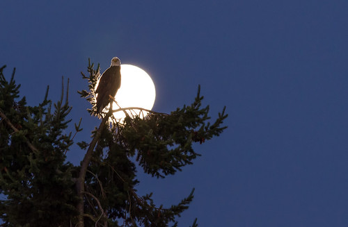 morning summer moon canada tree bird sunrise dawn bc eagle britishcolumbia wildlife bald august vancouverisland american backlit majestic moonset birdofprey centralsaanich