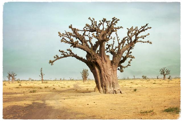 ... Il baobab ..