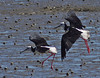 The crab chase Pied Stilt style Himantopus leucocephalus by Maureen Pierre