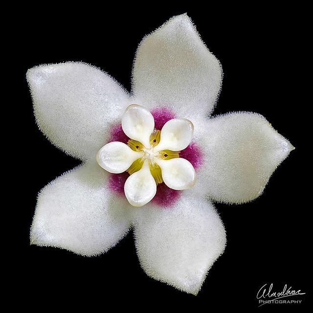 Wax flower, flor de cera