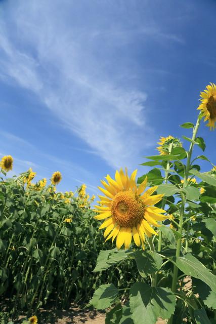 sunflowers in Zama.
