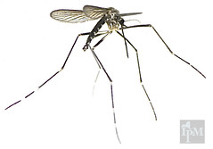 slightly out of focus image of very long-legged mosquito with white stripes on the leg