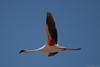 Lesser Flamingo (Phoenicopterus minor) by jrothdog