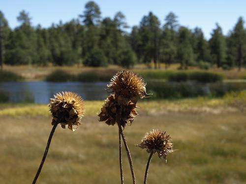 geotagged sunflowers seedheads deadheads helianthus flowerheads woodlandlakewoodlandlakeparklakesripariannaturepinetoppinetop arizonapinetoplakesidearizona geo:lat=34125559 geo:lon=10995416