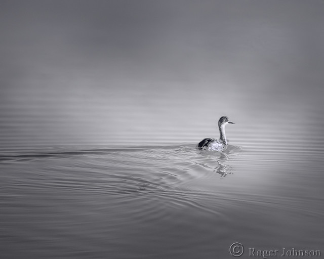 A Lonely Grebe