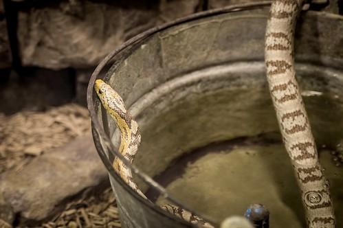 @ The North Carolina Aquarium At Pine Knoll Shores, Corn Snake