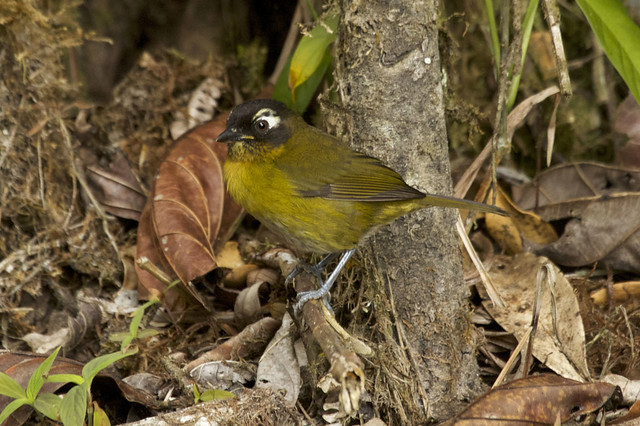 Chlorospingus ophthalmicus - Common Bush-Tanager