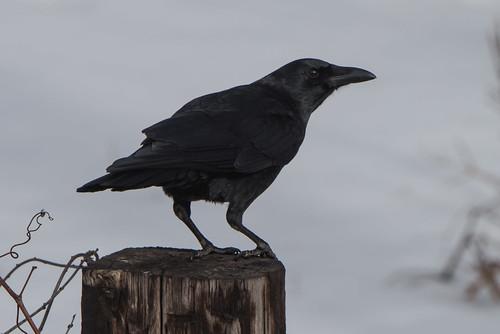 American Crow | by Matt Stratmoen