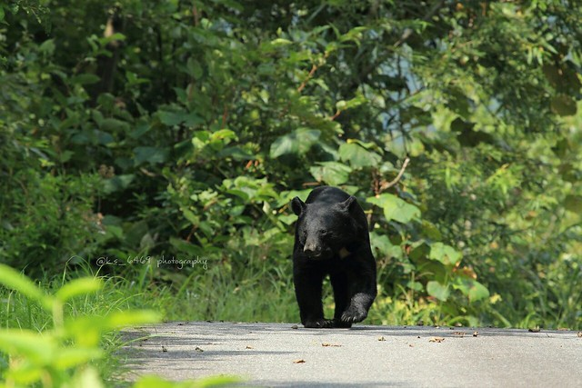 Japanese black bear