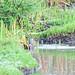 Rallus semiplumbeus La Florida