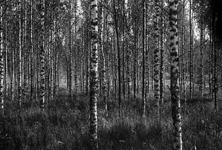 Birches | by Tony Bokeh Larsson