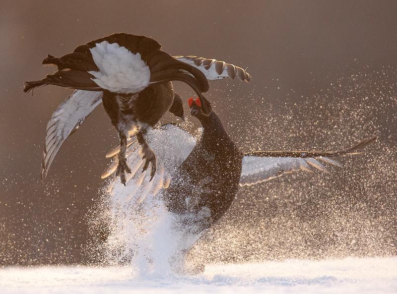 Black Grouse 4107 by Olli Lamminsalo
