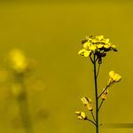 yellow_suite