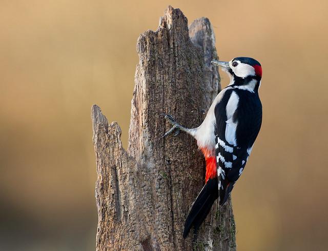 Great Spottet Woodpecker