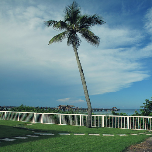 tree gulfofmexico fence square view florida lawn palmtree lonelytree naplesflorida naplespier swfl