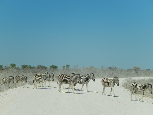 Etosha NP - zebras steken over