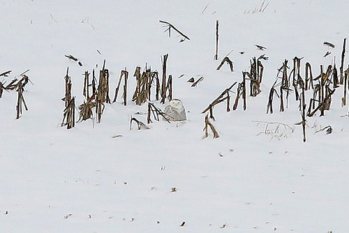 bird rare owls snowyowl buboscandiacus