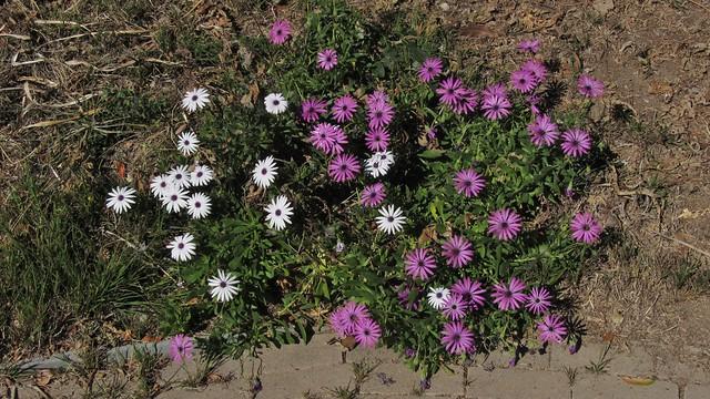 IMG_7040 african daisy flowers purple white Goleta