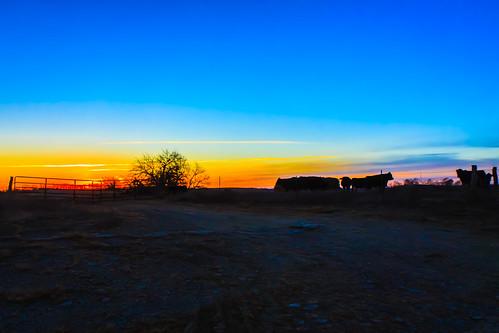 sunrise cow ©allrightsreserved digitalidiot