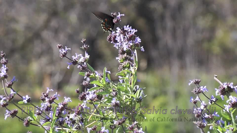 Pipevine swallowtail butterflies on a sage in the UC Davis Arboretum's Mary Wattis Brown Garden of California Native Plants