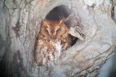 Eastern Screech Owl, Mercer Co., 1/17/2015
