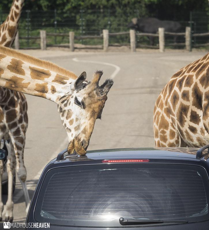 Safaripark Beekse Bergen - 0209