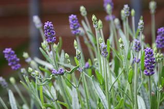 Echter Lavendel (Lavandula angustifolia)   by blumenbiene