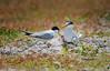 นางนวลแกลบเล็ก Little Tern by somchai@2008