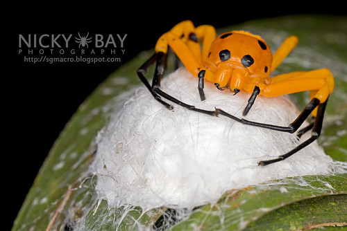 Eight-Spotted Crab Spider (Platythomisus octomaculatus) - DSC_1899 | by nickybay