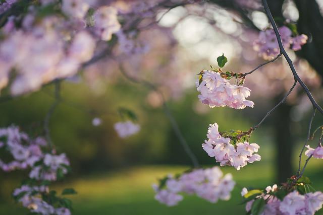 More cherry tree flowers :)