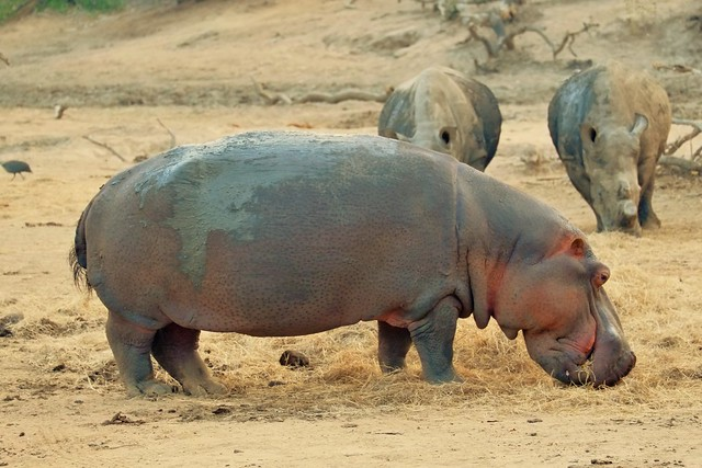Hippo and Rhino