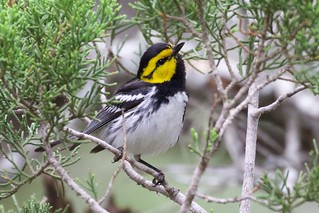 Golden-cheeked Warbler (male)|Kerr WMA|TX | 2015-05-24at13-39-5310 | by Bettina Arrigoni