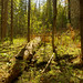 Brule River Boreal Forest