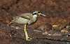 Beach Stone Curlew at East Point_6928 by Jen Crowley Photography