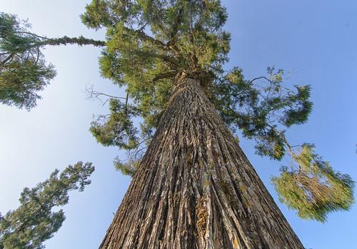 tree tall kalimpong