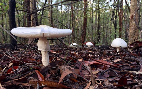 australia queensland qld brisbane mtcoottha forest trees appleiphone6 fungi mushroom toadstool white amanita sp