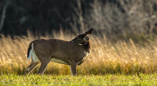 deer oxford