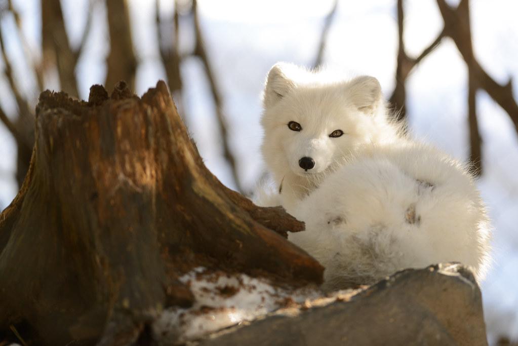 Arctic Fox and Stump
