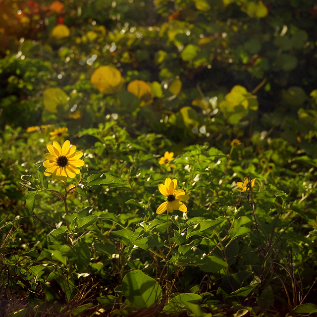 Sunny Sunflowers (Ikoflex Ic)