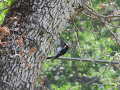 Acorn Woodpecker (Melanerpes Formicivorus) Sequoia National Park, California
